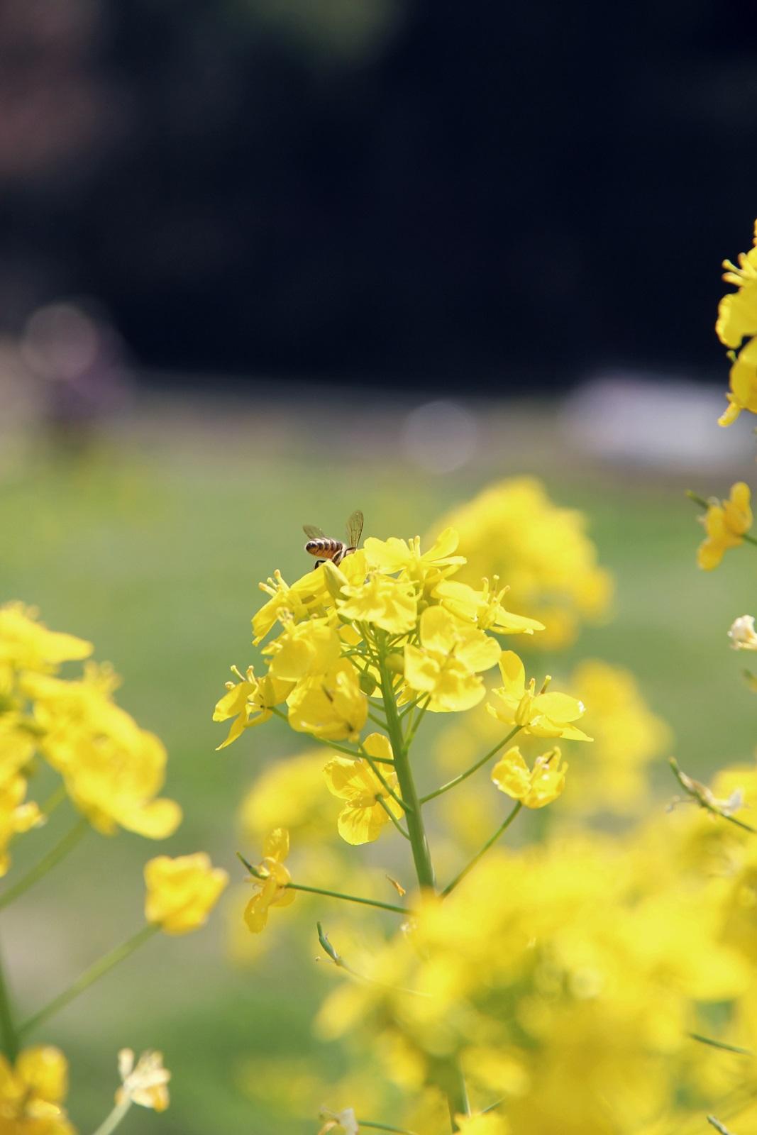 鯖江の菜の花@さばえ菜花まつり