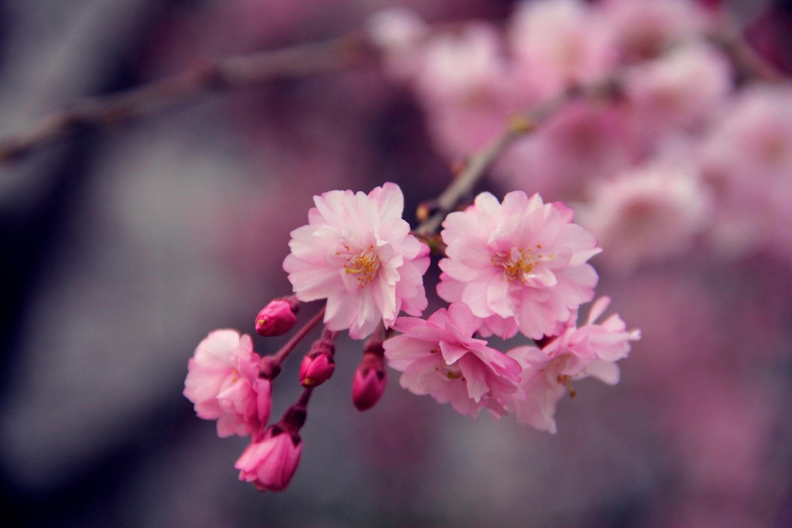 ふくいのさくら@ふくい桜まつり 越前時代行列