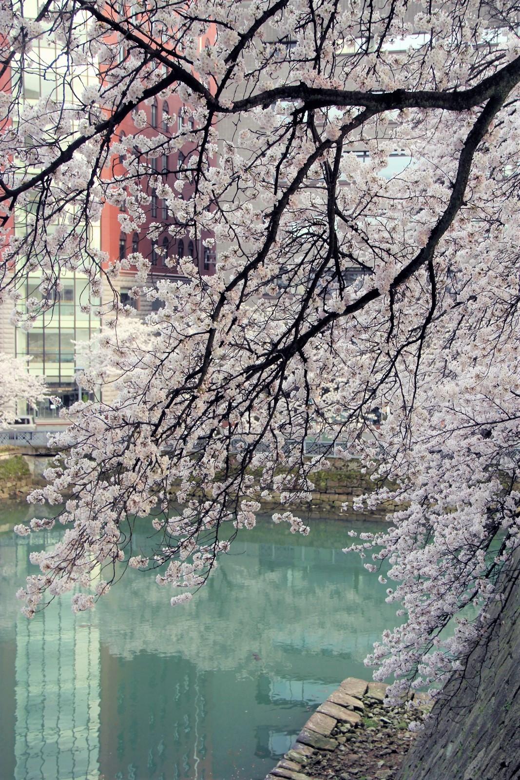 県庁お堀桜@ふくい桜まつり 越前時代行列