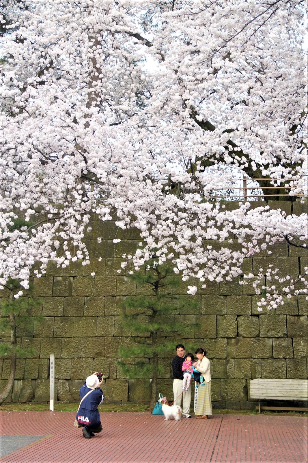春の桜記念日@ふくい桜まつり 越前時代行列